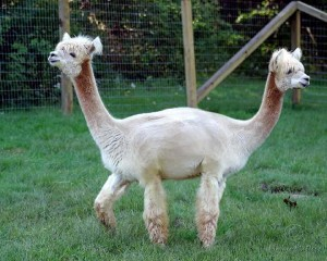 Does the Bible contain contradictions and discrepancies like this llama?